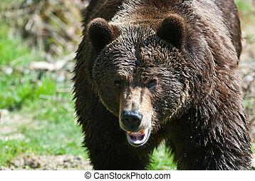(lat., bär, arctos), brauner, ursus