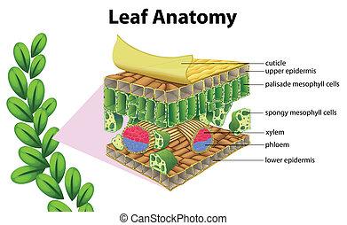 Leaf Anatomie.