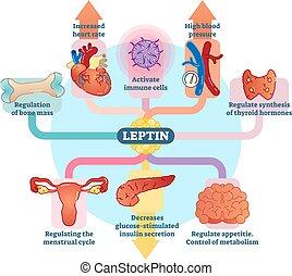 leptin, hormon, vektor, diagram., schematisch, abbildung, rolle