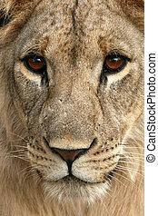 Lion - Afrika