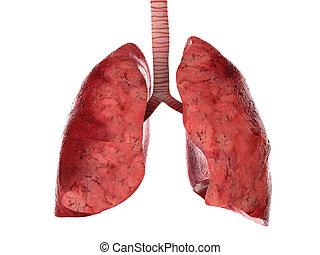 luftröhre, menschliche , lungen