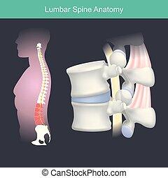 Lumbar Spine Anatomie.