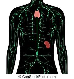 lymphatisch, begriff, system