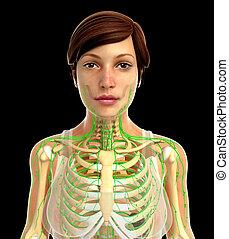 lymphatisches system, weibliche