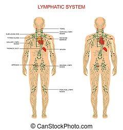 Lymphsystem,