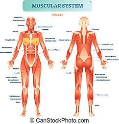 Männliches Muskelsystem, volles anatomisches Körperdiagramm mit Muskelschema, Vektorgrafik Bildungsplakat.