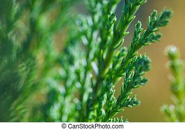 Macro Foto von grünen Zweigen der Juniper immergrünen Strauch Pflanze mit braunem Hintergrund.