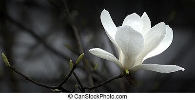 magnolie, blume