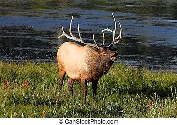 Majestätischer Stier-Elk-Käfer