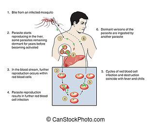 malaria, infektion