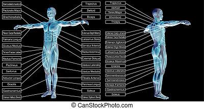 mann, 3d, text, menschliche anatomie, muskel