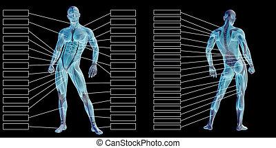 mann, koerperbau, menschliche , textbox, 3d, muskel