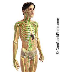 mann, lymphatisches system