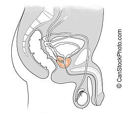 mann, prostata, harn, system, -