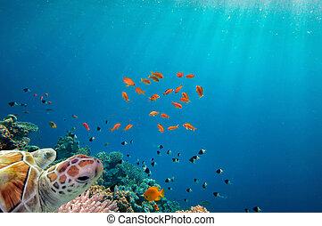 Meeresschildkröten schwimmen über Korallenriff.