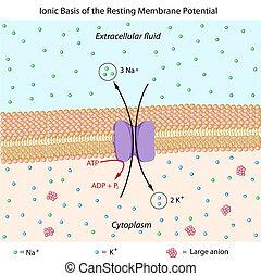 Membranpotenzial ausgleichen