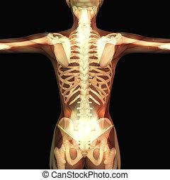 Menschliche Anatomie.