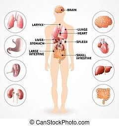 Menschliche Anatomieorgane.