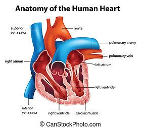 Menschliche Herzanatomie.