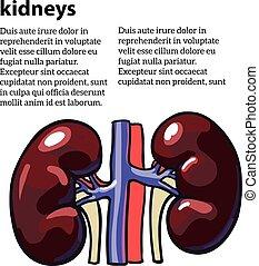 Menschliche innere Organ Niere.