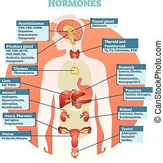 Menschliche Körperhormone Vektordiagramm
