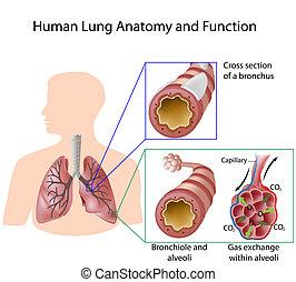 Menschliche Lungen-Anatomie & Funktion, Eps8