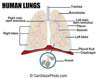 menschliche , lungen