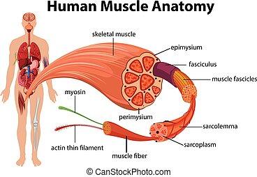 Menschliche Muskelanatomiediagramme.