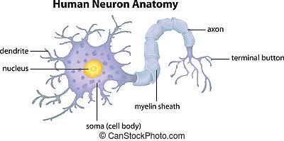 Menschliche Neuronatomie.