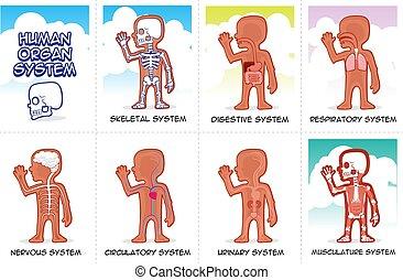 menschliche , organ, system, satz