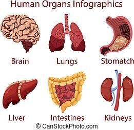 menschliche , organe, abbildung, vektor, infographics, karikatur
