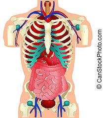 Menschliche Organe