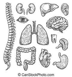 Menschliche Organe zeichnen Körper Anatomie Ikonen