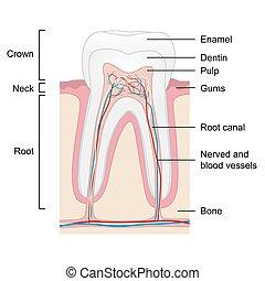 Menschliche Zahnanatomie isoliert auf weißem Hintergrund, Vektor.