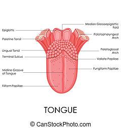 Menschliche Zungen-Anatomie.