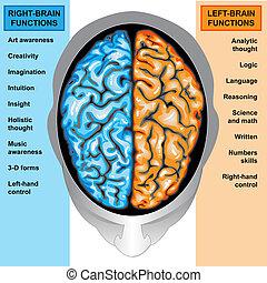 Menschliches Gehirn links und rechts funktioniert