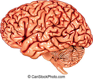 Menschliches Gehirn seitlicher Sicht.