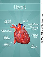 Menschliches Herz.