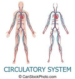 Menschliches Kreislaufsystem