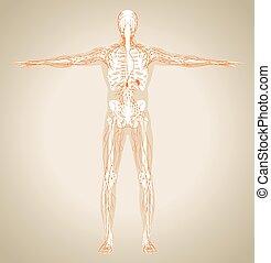 Menschliches Lymphsystem.