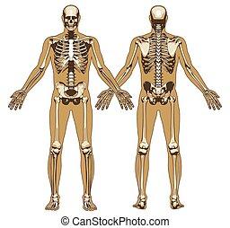 Menschliches Skelett im flachen Körper