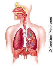 Menschliches volles Atmungssystem Querschnitt