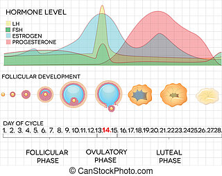 menstrual, hormon, zyklus, ovulation, prozess, niveaus, weibliche