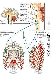 mitten, steuerung, atmungs
