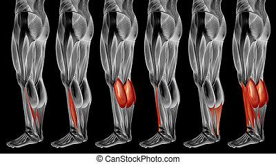 muskel, bein, anatomisch, 3d, sammlung, senken, satz, menschliche anatomie, oder
