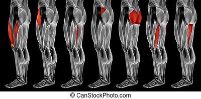 muskel, höher, bein, anatomisch, 3d, sammlung, satz, menschliche anatomie, oder