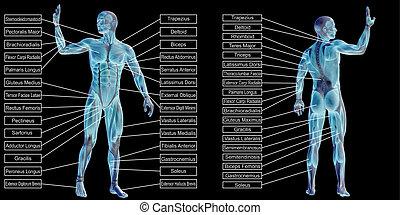 muskel, koerperbau, menschliche , mann, text, 3d
