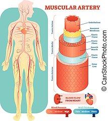 Muskulare Arterie anatomische Vektorgrafik Querschnitt. Kreislaufsystem Blutgefäßdiagrammsystem. Medizinische Informationen.
