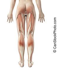 muskulatur, frauenbein