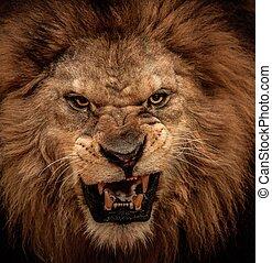 Nahaufnahme des brüllenden Löwen